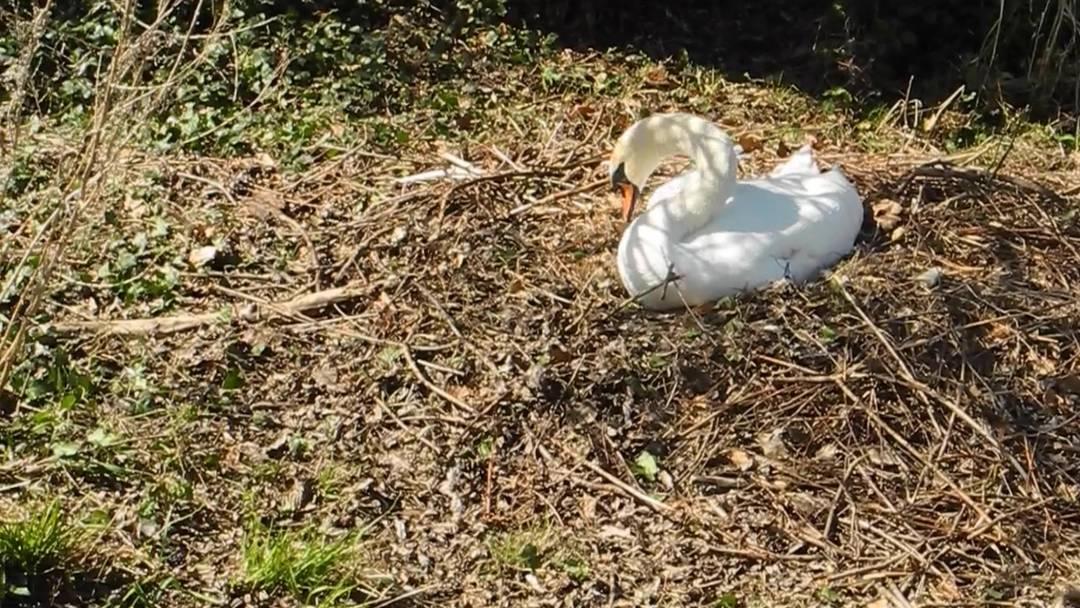 Kleine Freude am Aareufer: Der Aarauer Schwan baut sein Nest