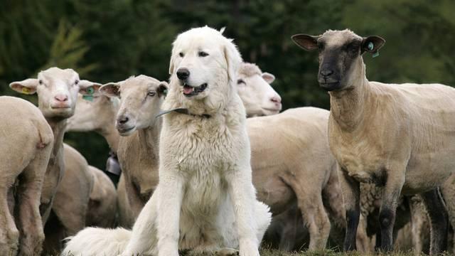Die Regelung des Herdenschutzes ist Teil der Teilrevision der Jagdverordnung. (Archiv)