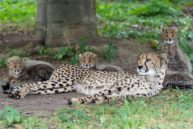 Mutter Alima brachte die vier weiblichen Jungtiere am 24. Juli zur Welt.
