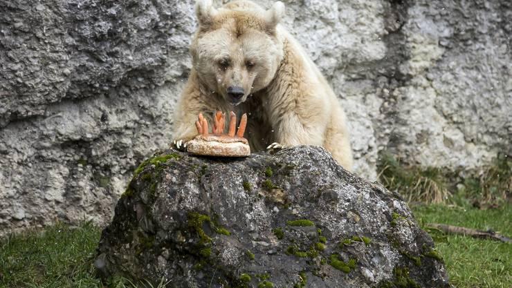 Die Goldauer Bärendame Fränzi begutachtet ihren Geburtstagskuchen.