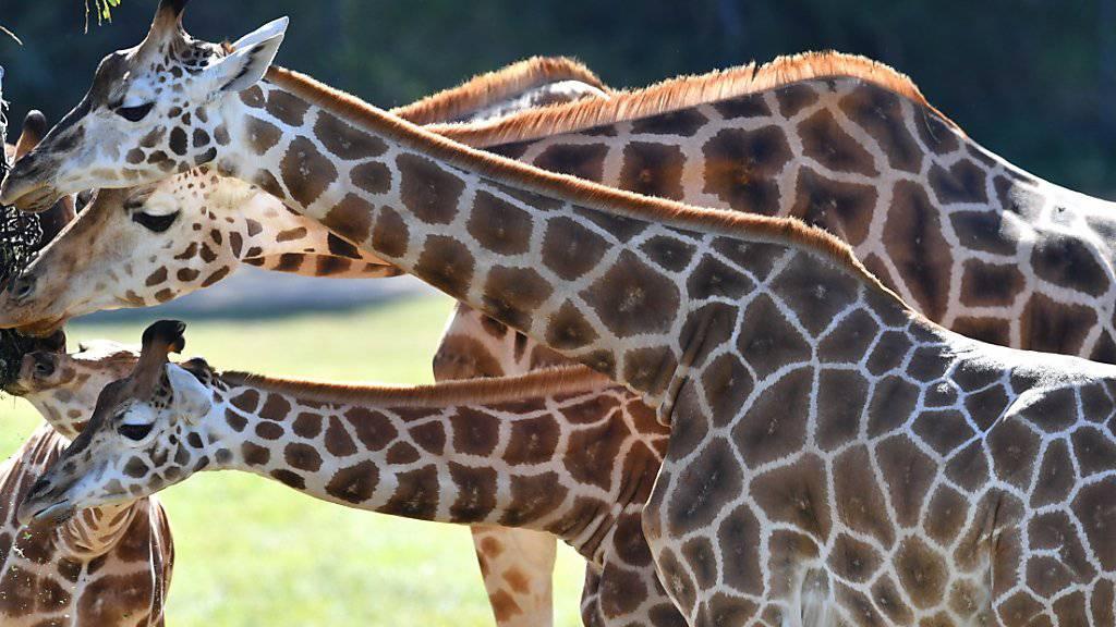 Der internationale Handel mit Fleisch, Leder und Jagdtrophäen oder die Verschiffung von Giraffen an Zoos und Zirkusse soll künftig nur noch möglich sein, wenn das Exportland nachweist, dass die Bestände dadurch nicht weiter gefährdet werden. (Archivbild)