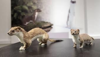 Naturmuseum Solothurn Hermelin Ausstellung