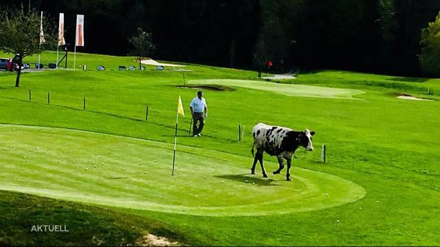 Durchgebranntes Rind macht Golfplatz unsicher