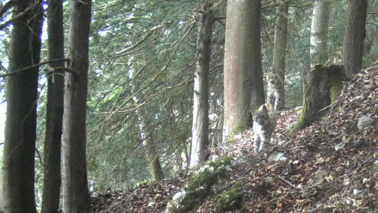Zwei junge Luchse am Sonntagnachmittag im Egerkinger Wald. Ist einer davon B507?