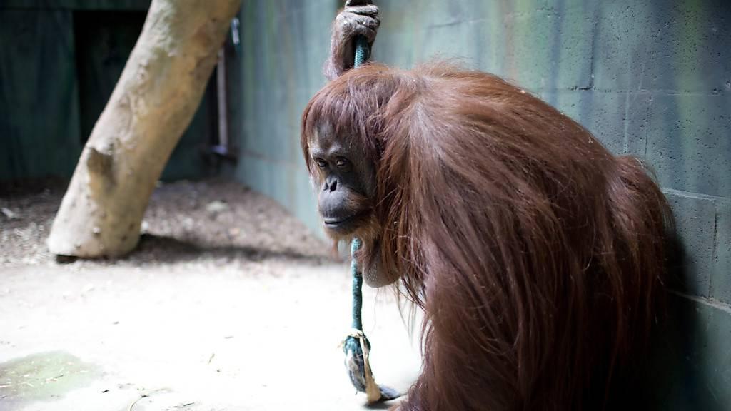 Orang-Utan-Dame darf künftig in Reservat in den USA leben