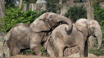 Elefanten in Zoo Basel: Nachwuchs sehnlichtst erwünscht.
