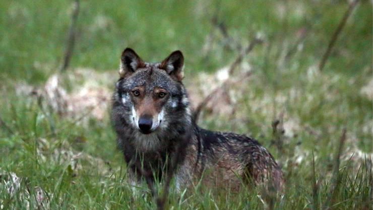 In der Schweiz ist in den letzten Jahren eine emotionale Debatte an der Frage entbrannt, wann Wölfe abgeschossen werden dürfen.