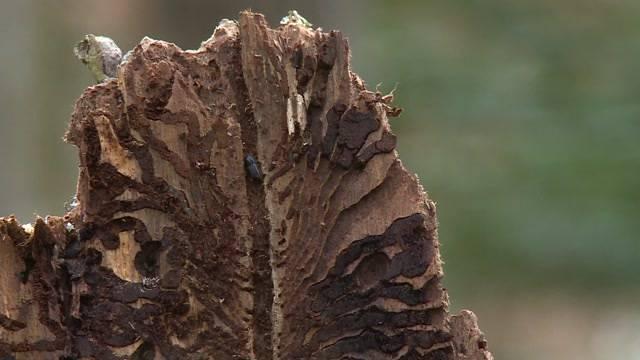 Kanton warnt vor Borkenkäferplage