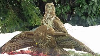 Fütterungszeit für Greifvögel am Siedlungsrand von Wolfwil