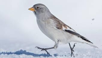 Der Schneesperling, ein Cousin des Hausspatzes, wird seltener. Forscher der Vogelwarte Sempacht wollen nun wissen, wieso.