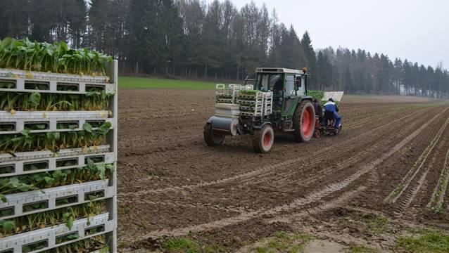 Auf einem Feld im Schweissacker in Niederbuchsiten werden bei zunehmend schwerem Boden Blumenkohlsetzlinge mit der Maschine gepflanzt.