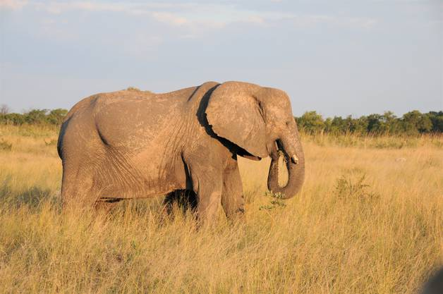 Im Hwange-Nationalpark leben 45'000 Elefanten.