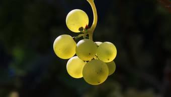 Die Wassermengen und die niedrigen Temperaturen Ende Mai waren ein Übel für die Weinbauern der Region. Alleine im Aargau gingen 25 Prozent der Ernte verloren.