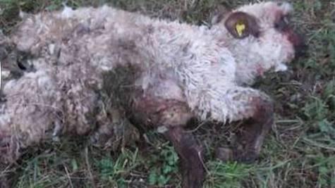 Im Novemter 2018 reisst ein Hund im Fricktal Schafe.