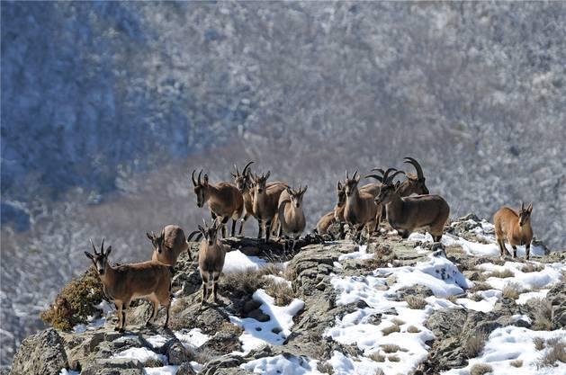 ...die Bezoarziegen. In der entlegenen Bergwelt Armeniens haben sie einen Rückzugsort gefunden.