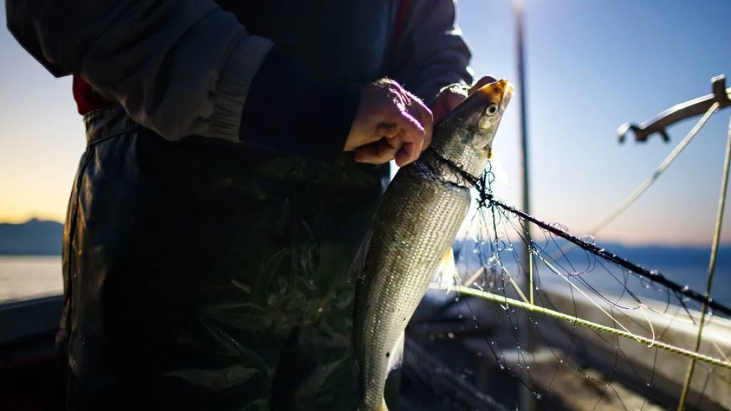 Fangmenge der Genfersee-Fischer wieder gestiegen