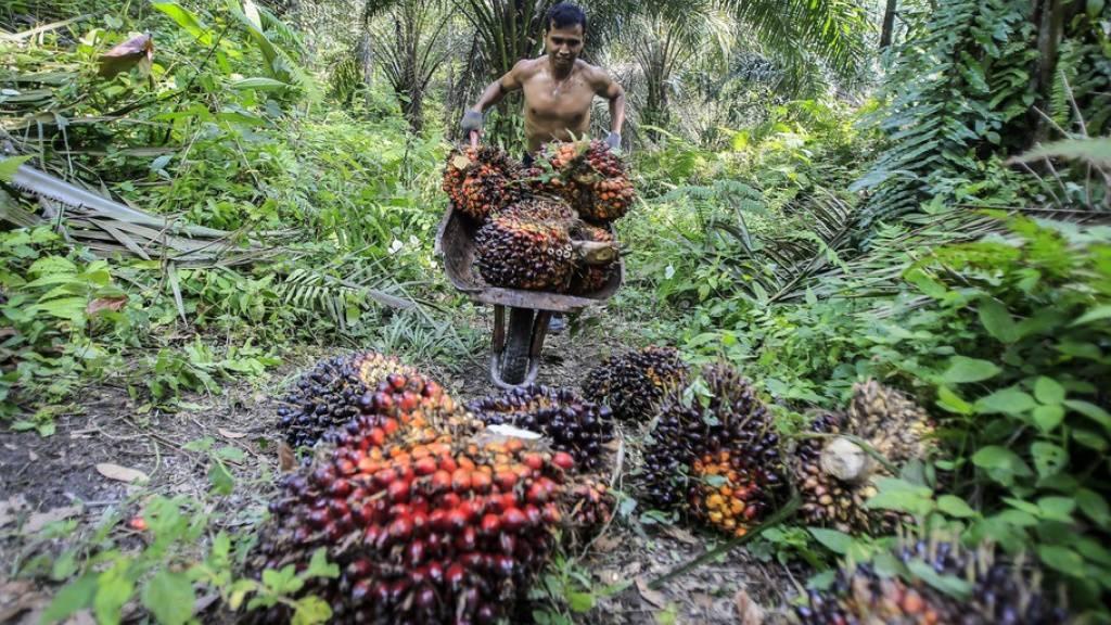 Palmöl liesse sich auch umweltfreundlicher produzieren