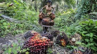 In vielen Ländern wie Indonesien musste Regenwald für Ölpalmen weichen. Forschende weisen auf eine umweltfreundlichere Alternative hin. (Archivbild)