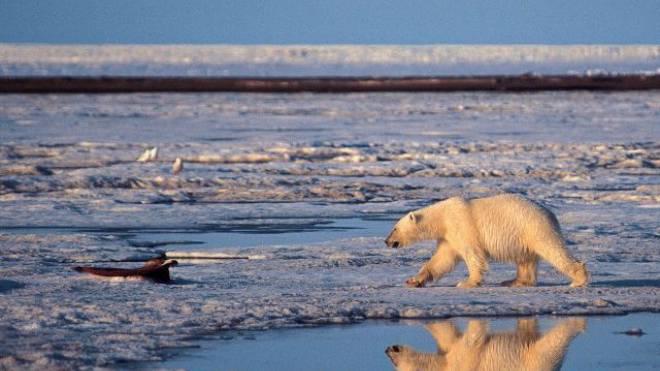 Seine Lebensgrundlage schmilzt mit der Erderwärmung: Polarbär im arktischen Eis. Foto: Keystone