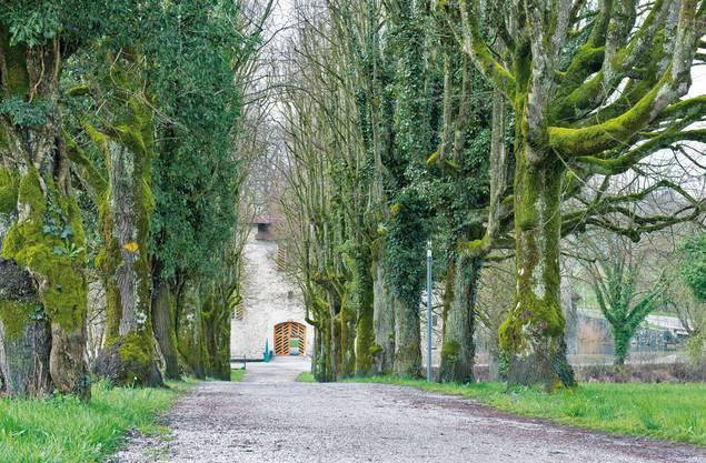 Die Linden beim Schloss Hallwyl wurden erst nach 1924 gesetzt. Denn auf Fotos aus dieser Zeit waren sie noch nicht vorhanden.