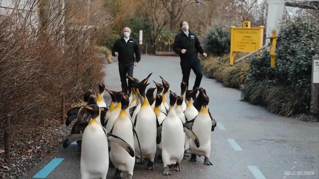Jerusalema: Jetzt tanzen sogar die Pinguine