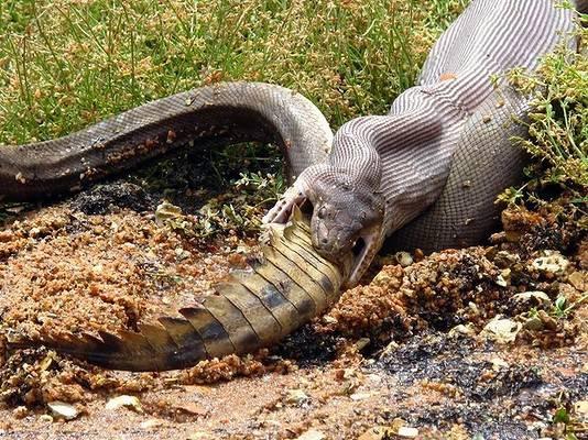 Die Schlange verschlingt das Krokodil