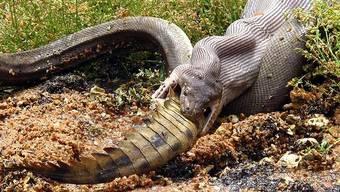 Schlange verschlingt nach langem Kampf ein Krokodil