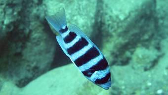 Der Tanganjika-Schuppenfresser ernährt sich ausschliesslich von den Schuppen anderer Fische.