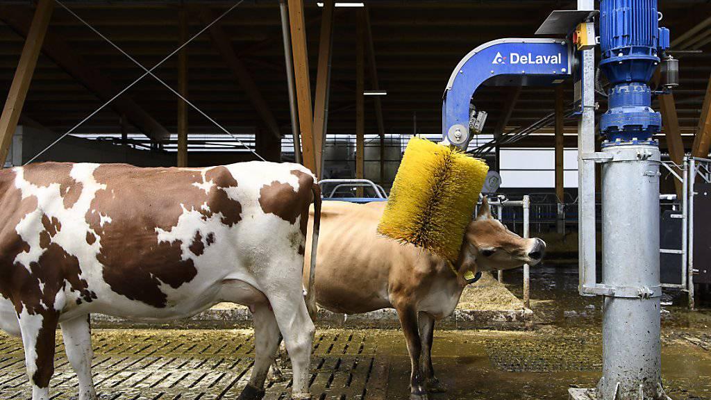 Das tut gut: eine Kuh lässt sich im neuen Stall am Inforama Rütti von einer Kuhbürste den Nacken kratzen.