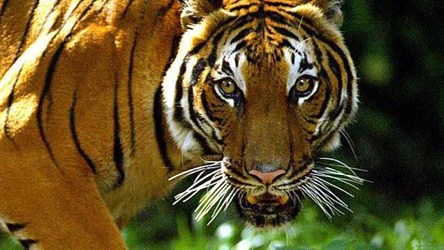 Immer weniger Tiger im Mekong-Gebiet (Archiv)