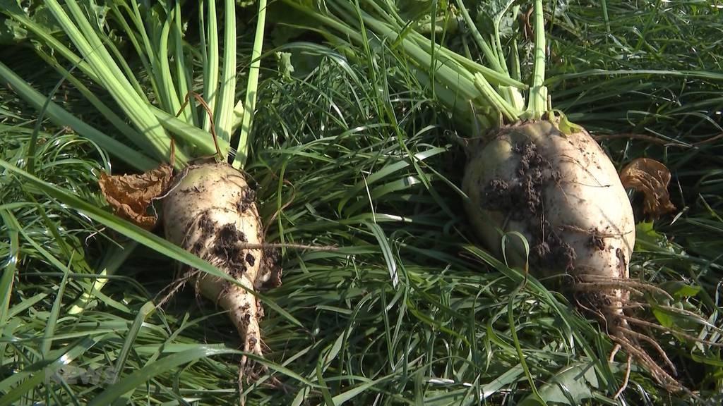 Schwarzes Zuckerrüben-Jahr: Pestizidverbot erschwert Produktion