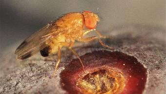 Die Kirschessigfliege (Drosophila suzukii) befällt gesunde Früchte kurz vor der Ernte. Dies macht sie zu einem schwer zu bekämpfenden Insekt, da unmittelbar vor der Ernte kein Insektizid mehr eingesetzt werden kann.