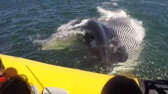 Dieser Buckelwal beschert seinen Beobachtern einen rechten Schrecken – und ein unvergessliches Erlebnis.