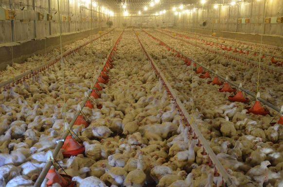 So sieht Hühnchen-Massentierhaltung aus (Archivbild).