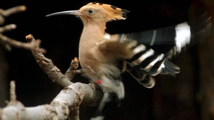 Der Wiedehopf wurde auf Grund seines unbeholfen aussehenden Flugstils für einen wenig effizienten Zugvogel angesehen. Zu Unrecht, wie eine Studie der Vogelwarte Sempach LU zeigt. (Archivbild)