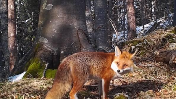 Isch öppis..?! Fuchs unterwegs auf dem Balmberg.