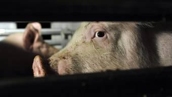 Die Organisatoren der «Show-Metzgete» wollen «humanere Alternativen zum Schlachten am Fliessband» aufzeigen: Schweine auf dem Weg in den Schlachthof.