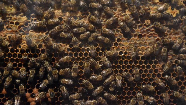 Die Bienen starben wegen eines verbotenen Insektenmittels.