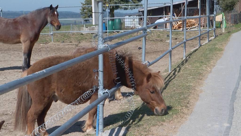 Wegen Corona-Krise: Ponys droht Notschlachtung