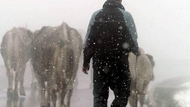 Alpabzug in Nebel und Schnee im Kanton Uri
