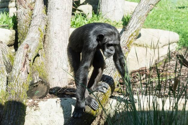 Um dies europaweit zu koordinieren, gibt es für Schimpansen ein Europäisches Erhaltungszucht Programm (EEP), bei dem auch der Zoo Basel mitmacht.