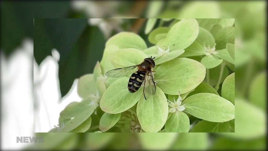 Lästige Schwebfliegen nerven Berner
