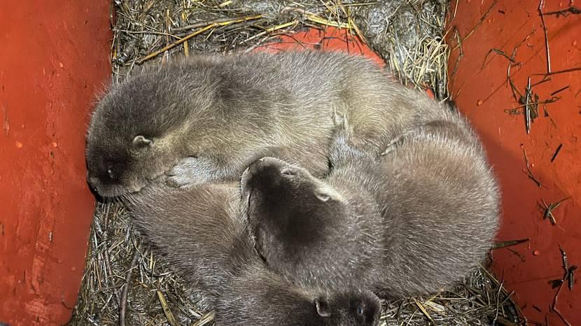 Fans dürfen entscheiden: Wie sollen diese Baby-Otter heissen?