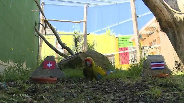 Papagei José tippt Schweiz zum Sieg