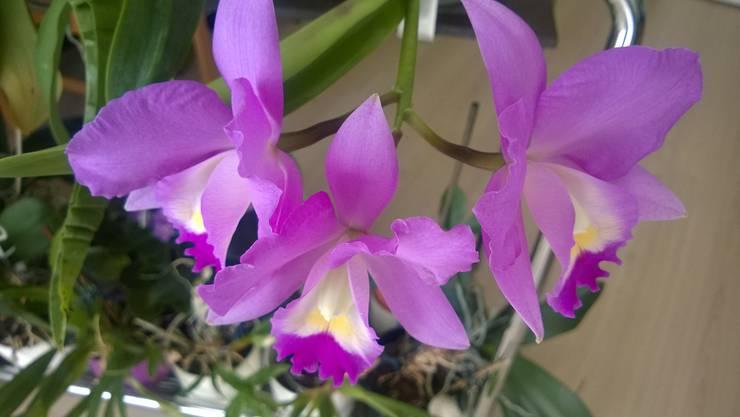 Diese Exotische Schönheit (Cattalaya) hat heute ihre Blüten geöffnet.