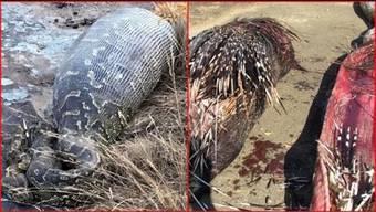 Python stirbt, nachdem sie ein 14-Kilo-Stachelschwein verschlungen hatte.
