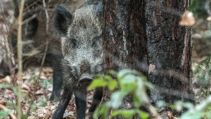 Wildschweine fressen gerne Pilze – und nehmen so auch Cäsium 137 auf.
