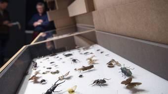 Wird man Insekten künftig nur noch aufgespiesst betrachten können? In der Schweiz sind 60 Prozent der Insektenarten gefährdet, unter anderem die Heuschrecken und die Libellen. (Archiv)
