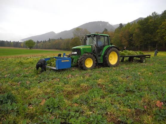 Ein Traktor begleitet die Arbeiter bei der Ernte.