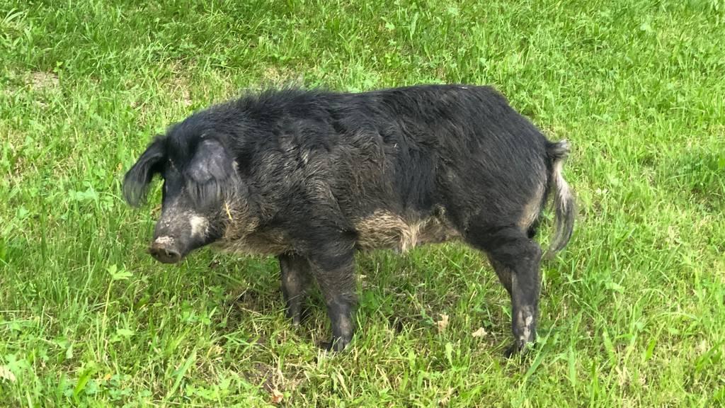 Schwein aus Anhänger gefallen